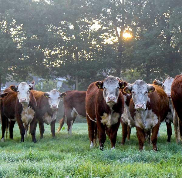 KoeienvandeEekhoeve